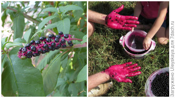 Фитолакка американская в моем объективе, окрашивание рук фитолаккой, фото сайта biosredstva.ru