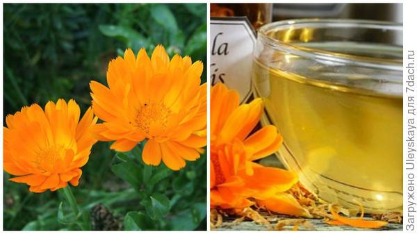 Календула лекарственная, фото сайта herbs.fotocrimea.com, чай из календулы, фото сайта www.inmoment.ru
