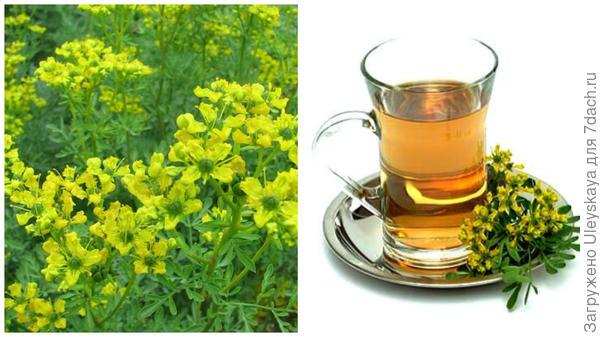 Рута душистая, фото сайта www.gutravel.ru; чай с рутой, фото сайта www.ayzdorov.ru