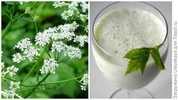 Купырь лесной, фото сайта supersadovod.ru, кефирный напиток с зеленью купыря, фото сайта vk.com