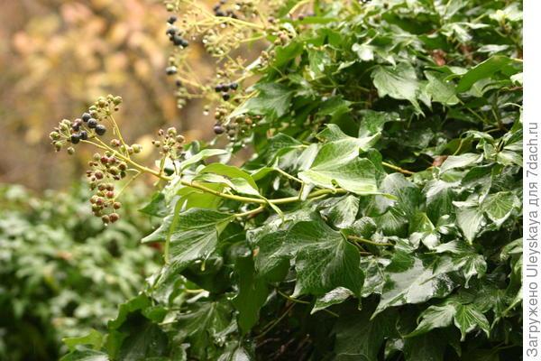 Плющ обыкновенный сорт Green Ripple плодоносит в на Южном берегу Крыма