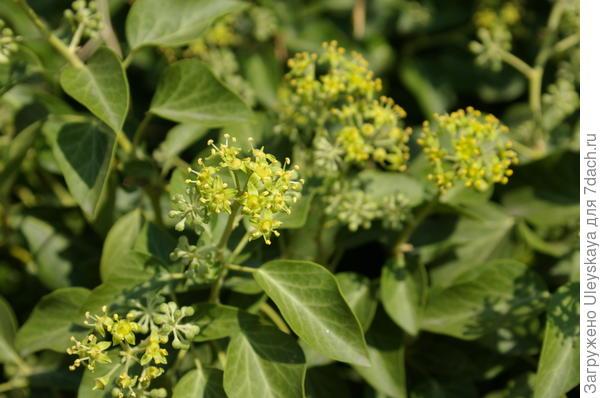 Цветет плющ обыкновенный на Демерджи
