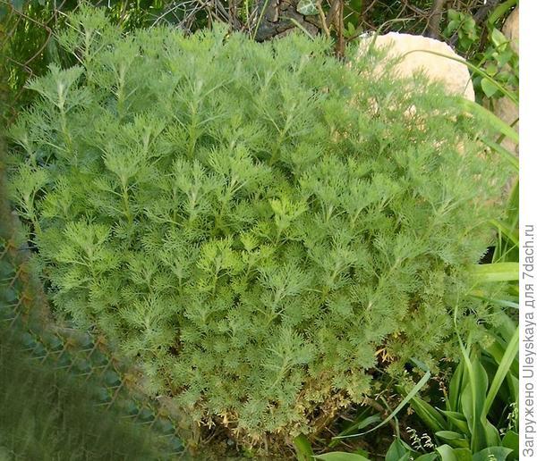 Полынь лечебная, фото сайта jardinage.ooreka.fr