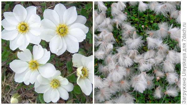 Дриада надрезная в цветении, фото сайта www.plant-world-seeds.com, в плодоношении, фото сайта rufino-osorio.blogspot.com