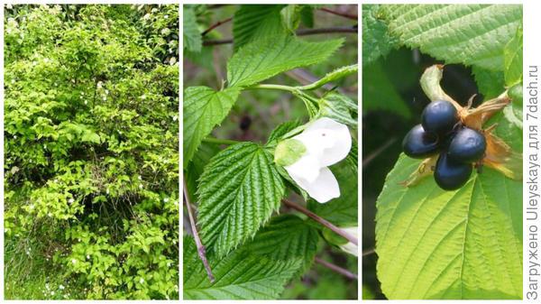 Родотипус керриевидный общий вид, фото сайта www.garten.cz; цветки в моем объективе; плоды, фото сайта search.live.com