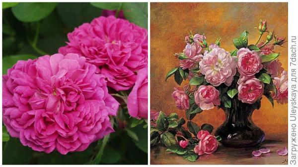 Портландская роза сорт Rose de Rescht, фото сайта lippocastano.com, букет ретро-роз, художник Альберт Вильямс, фото сайта sunduchokruk.ru