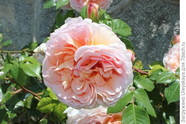 Старинная роза сорт Графиня Воронцова, 2015 г.
