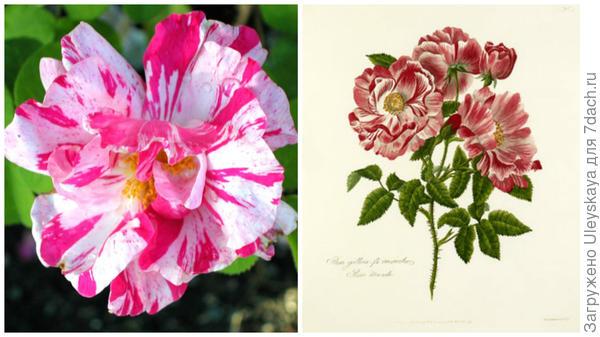 Rosa gallica versicolor фото сайта www.roguevalleyroses.com; старинный рисунок, фото сайта rhsprints.co.uk