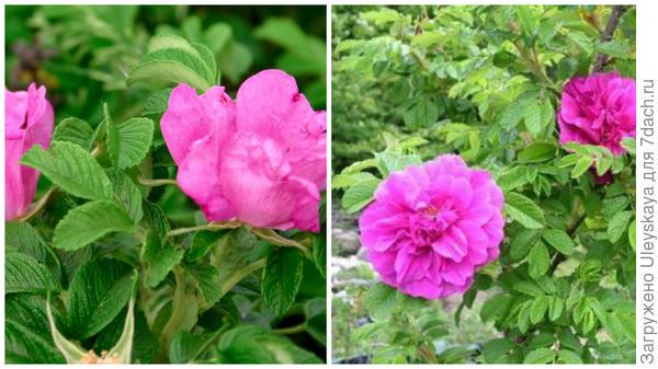 Роза ругоза в моем объективе, роза сорт Roseraie De L Hay, фото сайта tranquility-cottage-nursery.co.uk