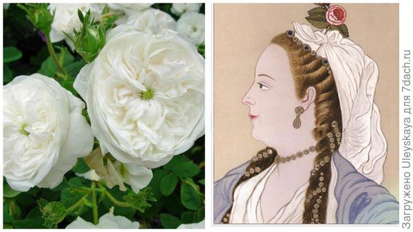 Старинная дамасская роза сорт Madame Hardy, фото сайта flickr.com, персианка, рисунок, фото сайта gulsha.com