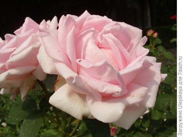 Ремонтантная роза сорт La Reine
