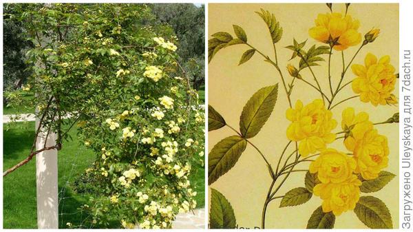 Вечнозеленая роза Бэнкса Желтая в моем объективе, рисунок, фото сайта www.etsy.com
