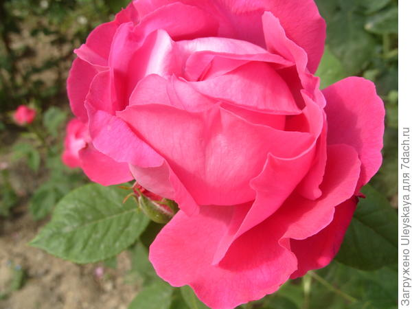 Ремонтантная роза сорт Ulrich Brunner
