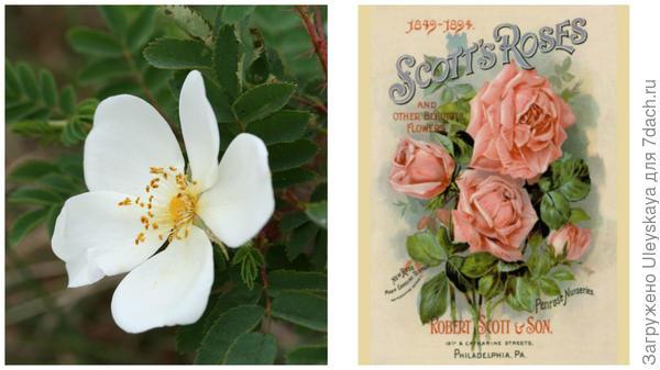 Роза бедренцеволистная, фото сайта commons.wikimedia.org ; шотландские розы, рисунок, фото сайта allposters.com