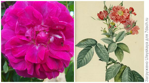 Бурсо роза сорт Amadis, фото сайта florum.fr; рисунок, фото сайта fr.wikipedia.org