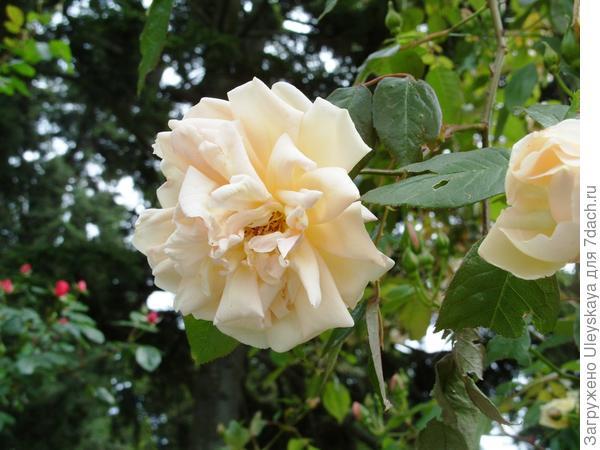 Нуазетовая роза сорт Marechal Niel