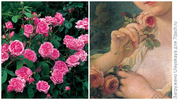Портландская роза сорт Comte de Chambord, фото сайта davidaustinroses.co.uk, старинные розы, фото сайта artdecorationsdesign.com
