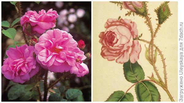 Rosa  Common Moss фото сайта classicroses.co.uk, моховая роза, фото сайта bugsandbeasts.com