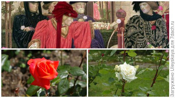 Генри Артур Пейн. Сцена в саду Темпла, сторонники фракций выбирают красные и белые розы, фото сайта commons.wikimedia.org, слева красная роза сорт Ave Maria, справа белая роза сорт Champagner в моем объективе