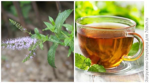 Мята в моем объективе, чай с мятой, фото сайта o-chae.co