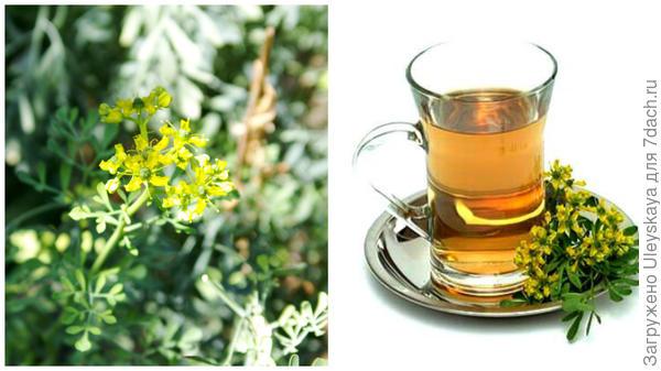 Рута душистая, чай с рутой, фото сайта www.ayzdorov.ru