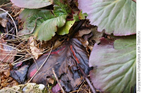 Перезимовавшие черные листья бадана, прошедшие естественную ферментацию, готовы к использованию