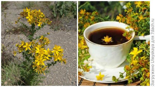 Зверобой продырявленный, чай со зверобоем, фото сайта herbaldoc.ru