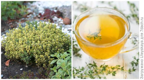 Тимьян лимонный, чай с чабрецом, фото сайта herbaldoc.ru