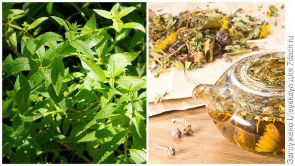 Алоизия трехлистная в моем объективе, травяной чай, фото сайта fito-store.ru