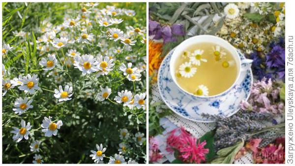 Ромашка лекарственная, чай с ромашкой, фото сайта otvetin.ru