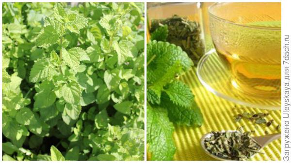Мелисса лекарственная, чай с мелиссой, фото сайта herbaldoc.ru