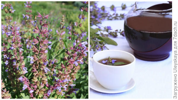 Шалфей лекарственный, чай с шалфеем, фото сайта www.o-krohe.ru