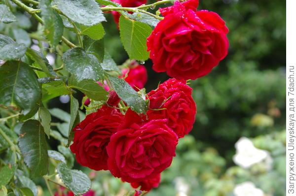 Роза Кордеса сорт Sympathie