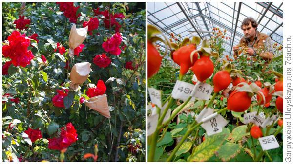 Таинство процесса селекции роз в Крыму, сотни тысяч пронумерованных плодов - будущее компании Кордес под Гамбургом, фото сайта geo.ru