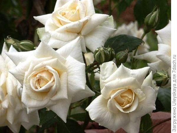 Роза Кордеса сорт Ilse Krohn Superior, фото сайта rosomaniya.ru