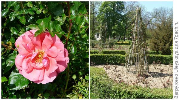 Роза Кордеса сорт Кадриль, фото сайта infonavigator.biz, опоры для таких роз