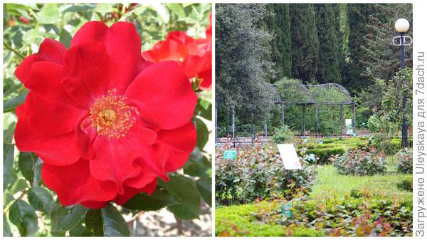 Роза Кордеса сорт Гуцулочка, опоры для таких роз