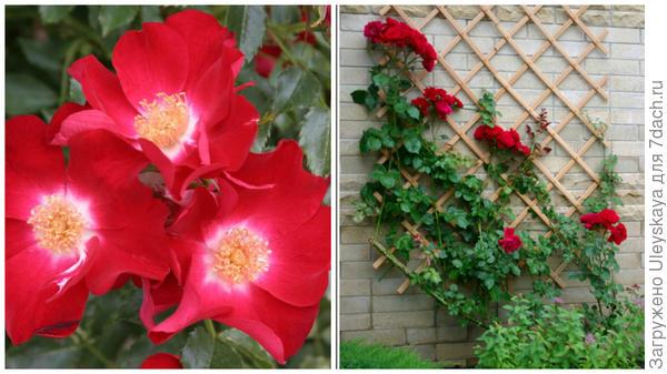 Роза Кордеса сорт Dortmund, фото сайта baumschule-horstmann.de, решетки на стенах для таких роз