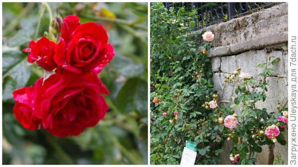 Роза Кордеса сорт Sympathie, стены-опоры для таких роз
