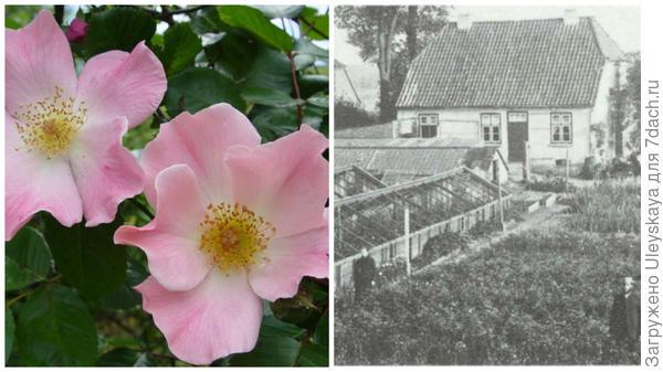 Роза сорт Sparrieshoop, фото сайта www.rossroses.com.au, хозяйство Кордесов в 1900 году фото сайта newflora.com