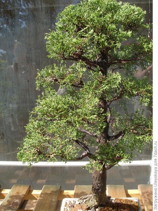 Кипарис вечнозеленый горизонтальный в культуре бонсай