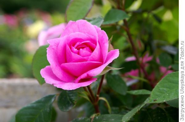 Роза сорт Gertrude Jekyll в распускании