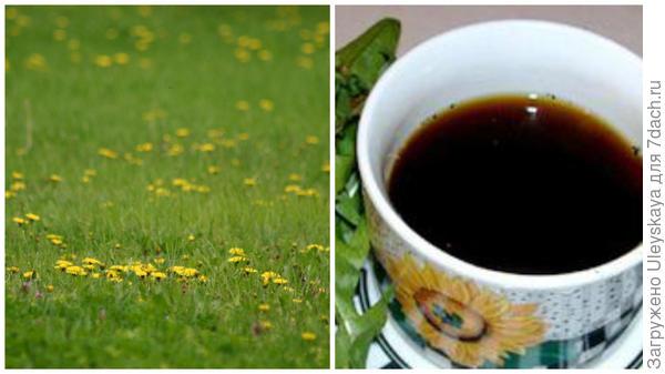 Одуванчик лекарственный, суррогат кофе из одуванчика, фото сайта bookflowers.ru
