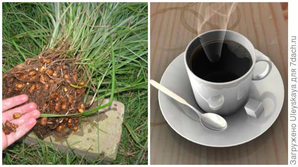 Сыть съедобная, фото сайта www.botanichka.ru, суррогатный кофе, фото сайта beautycoffee.com.ua