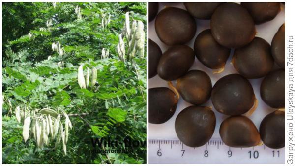 Бундук канадский, фото сайта wiki-flowers.ru, семена бундука для кофе