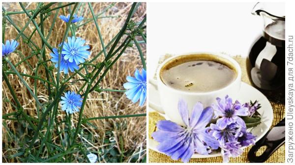 Цикорий обыкновенный и суррогат кофе из цикория, фото сайта kulinariya.lichnorastu.ru