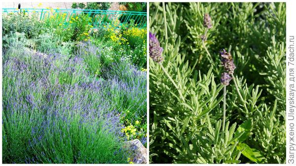 Основа душистого цветника - многолетние растения; лаванда зубчатая - ароматная новинка-многолетник