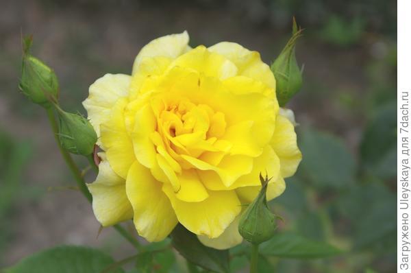Цветки розы сорт Friesia пахнут ванилью