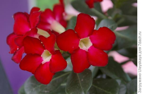 Цветет адениум