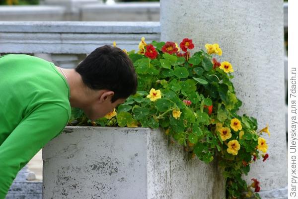 Почти не наклоняясь, нюхаем цветки настурции